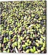 Picking Olives Canvas Print