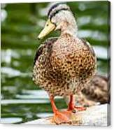 Picture Perfect - Mallard Duck Canvas Print