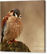 Picture Perfect American Kestrel  Canvas Print