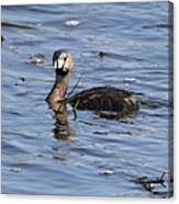 Pied-billed Grebe Canvas Print