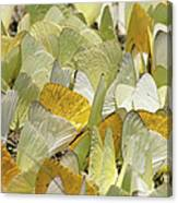 Pierid Butterfly Pieridae Puddling Canvas Print