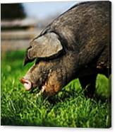 Pig Eating Canvas Print