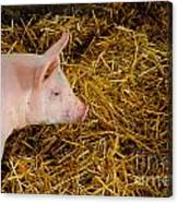 Pig Standing In Hay Canvas Print