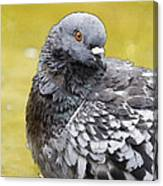 Pigeon Bath Canvas Print