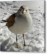 Pigeon In The Snow Canvas Print