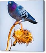 Pigeon On Sunflower Canvas Print