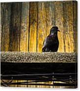 Pigeon On The Balcony Canvas Print