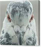 Pigeon Portrait En Face Canvas Print