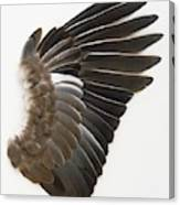 Pigeon Wing Showing Overlapping Feathers Canvas Print