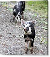 Piglets On The Loose Canvas Print