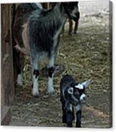 Pigmy Goats Canvas Print