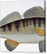 Pike Perch Canvas Print