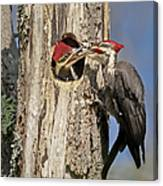 Pileated Woodpecker And Chick Canvas Print