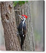 Pileated Woodpecker Foraging Canvas Print