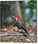 Pileated Woodpecker On Log Canvas Print