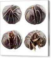 Pill-bug Armadillidium Vulgare Canvas Print