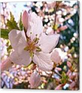 Pin Cherry Blooms Canvas Print