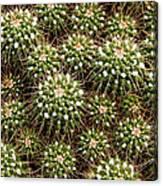 Pincushion Cactus Canvas Print