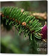 Pine Blossom Canvas Print