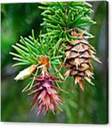 Pine Cone Stages Canvas Print