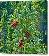 Pine Cones On Spruce Tree In Rancheria Falls Recreation Site-yt Canvas Print