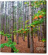 Pine Forest With Autumn Color Canvas Print