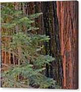Pine In The Redwoods Canvas Print