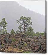 Pine On Lava Canvas Print