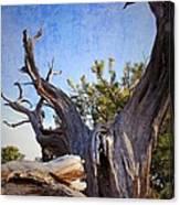 Pine Relic Canvas Print