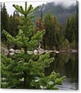 Pine Tree And Rain Drops Canvas Print
