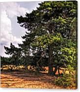 Pine Tree In Hoge Veluwe National Park 1. Netherlands Canvas Print