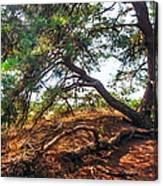 Pine Tree In Hoge Veluwe National Park 2. Netherlands Canvas Print