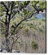 Pine Tree On A Mountain Canvas Print