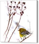 Pine Warbler-img-2143-001 Canvas Print