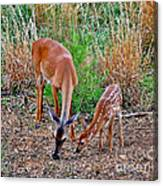 Piney Mountain Doe And Fawn Canvas Print