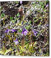 Pinguicula/myvatn Canvas Print