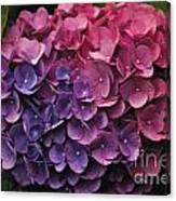Pink And Blue Hydrangea Canvas Print
