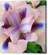 Pink And Blue Iris Canvas Print