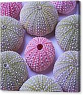 Pink And Green Urchins Canvas Print