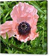 Pink And Purple Poppy Canvas Print