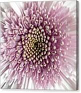 Pink And White Chrysanthemum Canvas Print