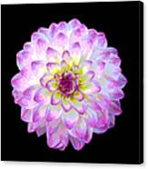 Pink And White Dahlia Posterized On Black Canvas Print