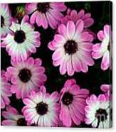 Pink And White Daisies Canvas Print