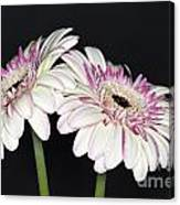 Pink And White Gerbera 2 Canvas Print