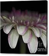 Pink And White Gerbera 3 Canvas Print