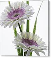 Pink And White Gerbera Canvas Print