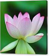 Pink And White Lotus Flower Canvas Print