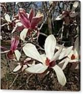 Pink And White Spring Magnolia Canvas Print