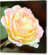 Pink And Yellow Rose Canvas Print