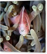 Pink Anemonefish And Tongue Parasite Canvas Print